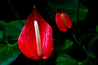 Red Anthurium at Meijer's Garden, located in Grand Rapids, Michigan.