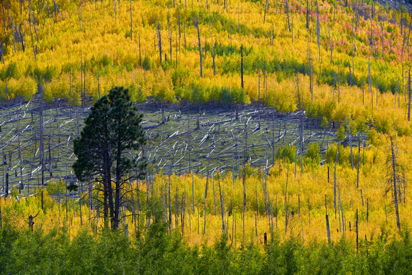 Newly formed Aspen grove on fire ravaged moutainside, viewed from Hart Prairie Road, Flagstaff, Arizona.