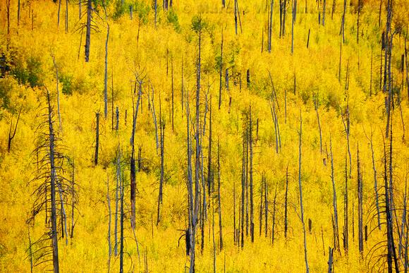 Aspen grove in full autumn color, viewed from Hart Prairie Road, near Flagstaff, Arizona.