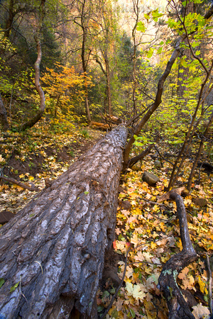 Fallen tree trunk and autumn leaves on the West Fork Trail at Oak Creek Canyon, Sedona, Arizona,