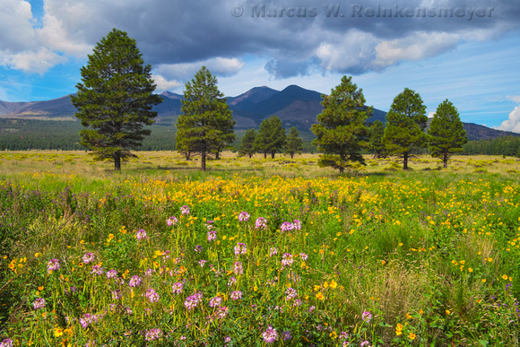 Sunflowers, Flagstaff, Arizona 3B