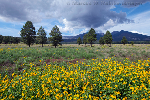 Sunflowers, Flagstaff, Arizona 1