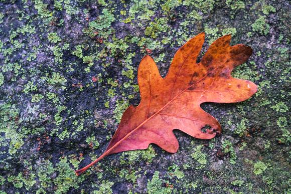 Lone Autumn Leaf, Milham Park, Portage, Michighan