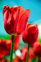 Red tulips on a sunny day in Holland, Michigan, home of the Holland Tulip Festival.