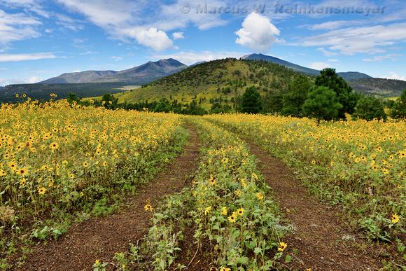 Flagstaff Sun Flowers 5