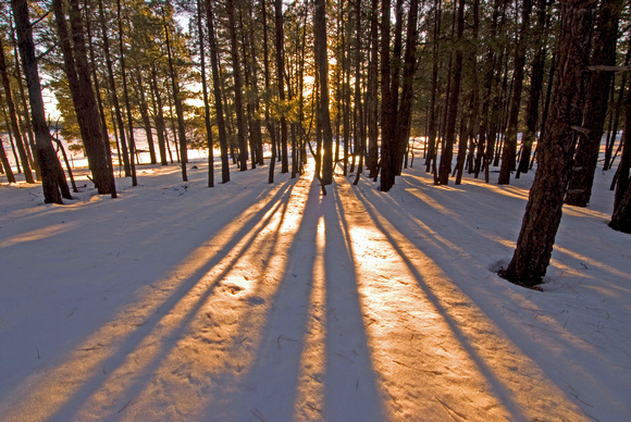 Sunset light filtered through the Pine Trees: A winter landscape scene from Flagstaff, Arizona.