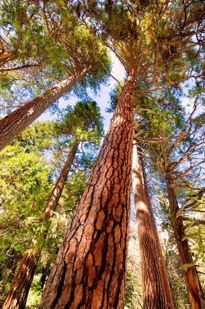 Redwood trees at Yosemite National Park