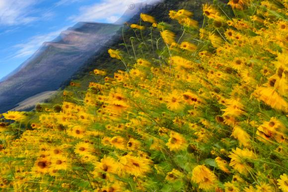 Flagstaff Sun Flowers In Motion