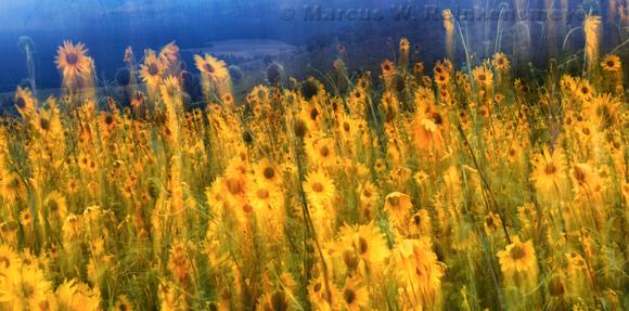 Windwept Sun Flowers