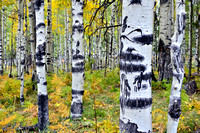 Aspen Grove, Hart Prairie Road, Flagstaff, Arizona