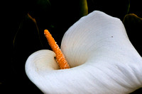 White Calla Lily flowers in Big Sur, California.