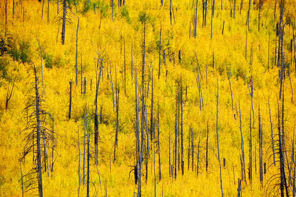 Aspen grove in full autumn color, viewed from Hart Prairie Road, near Flagstaff, Arizona.