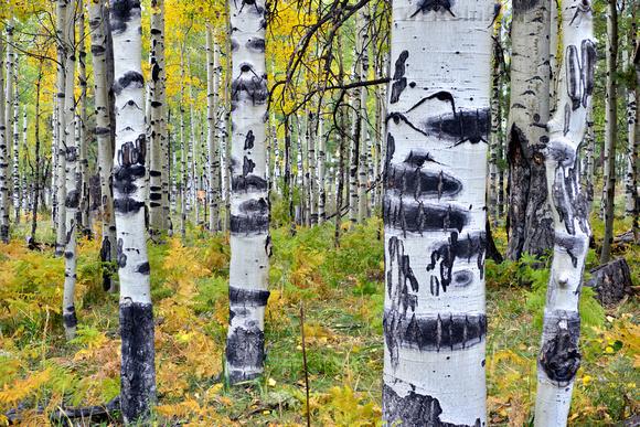 Autumn colors in dense Aspen grove, photographed using hyper focus and Heleoon softward. Flagstaff, Arizona.