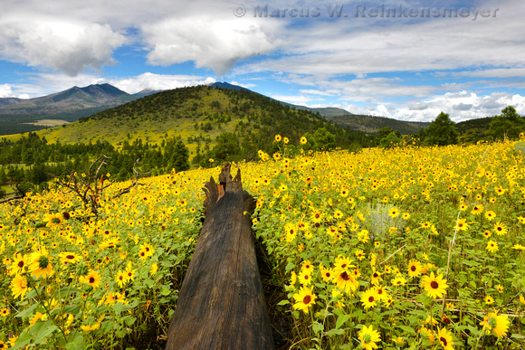 Flagstaff Fallen Log and Sun Flowers 2