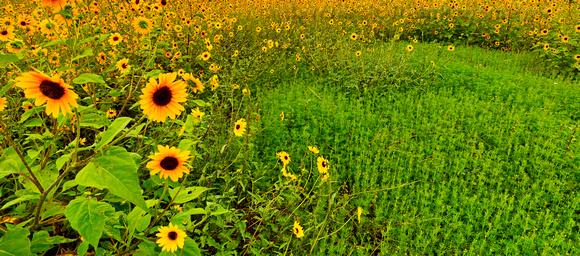 Flagstaff Sun Flowers 2 pano