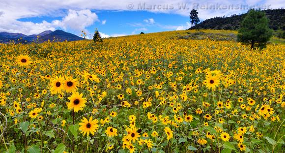 Sun Flower Covered Hillside Flagstaff pano
