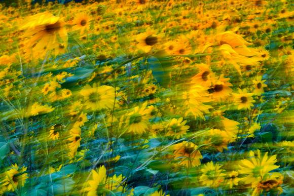 Sun Flowers Winding in the Wind