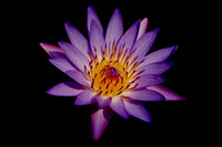 Purple Lotus Water Lilly afloat at the Garden of Eden, located on the island of Maui, Hawaii