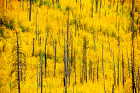 Aspens in Autumn, Hart Prairie Road 5, Flagstaff, Arizona