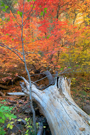 Photograph of autumn foliage at West Fork trail, Oak Creek Canyon, Sedona, Arizona, created with Helicon Focus software.