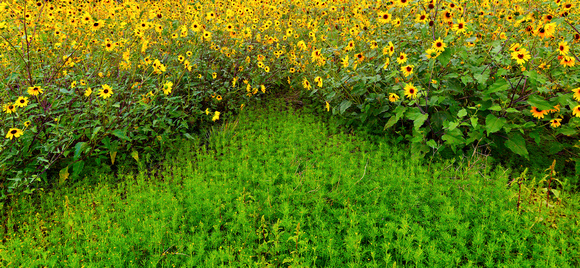 Flagstaff Sunflowers and Greenery